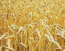 Лечение липомы при помощи пшеницы